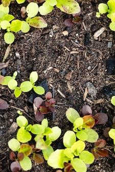 Hintergrund des frischen salatwachstums auf dem boden im garten im frühjahr.