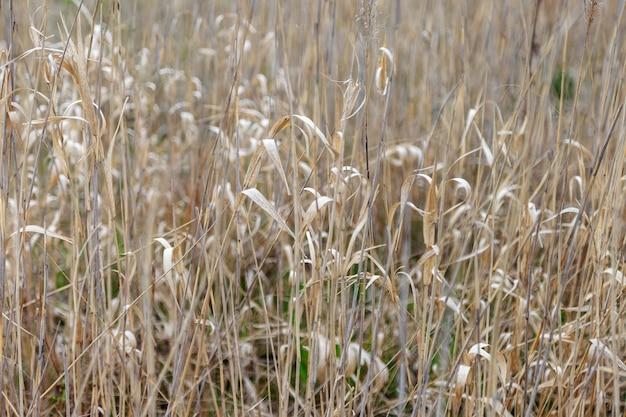 Hintergrund des gelben trockenen grases