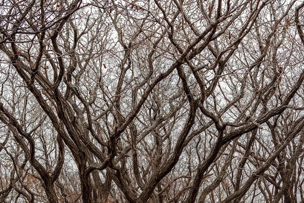 Hintergrund eng verdrehte kurven der äste von bäumen im winterwald auf dem hintergrund eines klaren himmels. zur verwendung als textur.