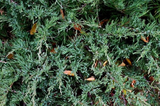 Hintergrund grüner wacholderbusch