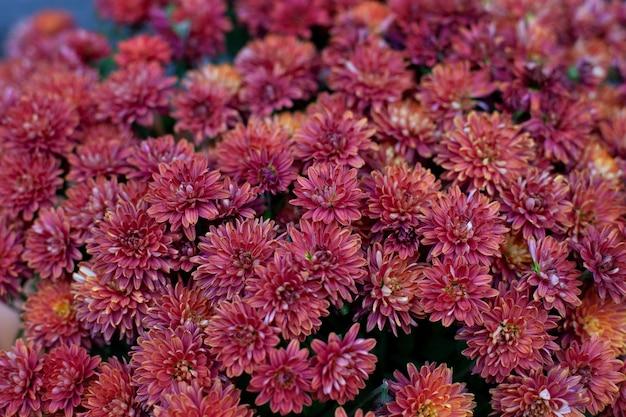 Hintergrund mit blühenden chrysanthemen. herbstblumen im garten.