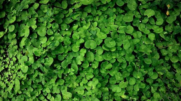 Hintergrund mit grünen reben