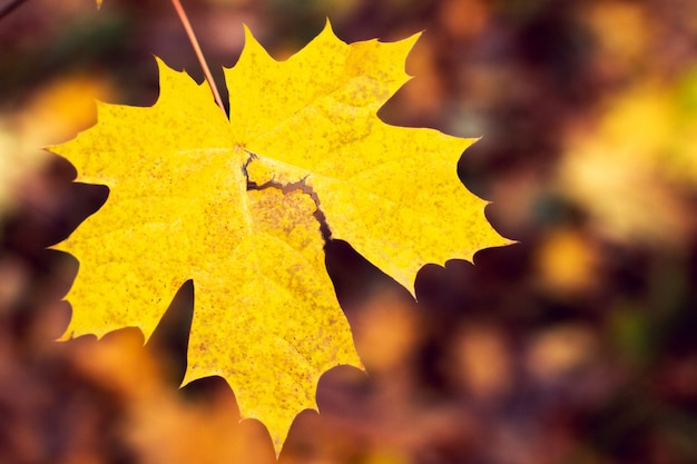 Hintergrund vom herbstahornblatt
