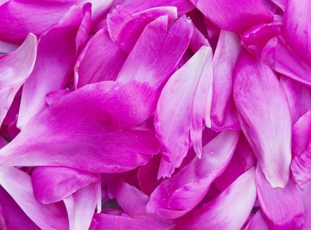 Hintergrund vom stapel der blütenblätter eines pions