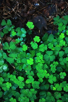 Hintergrund vom vierblättrigen pflanzenklee. irisches traditionelles symbol. st. patrick's day.