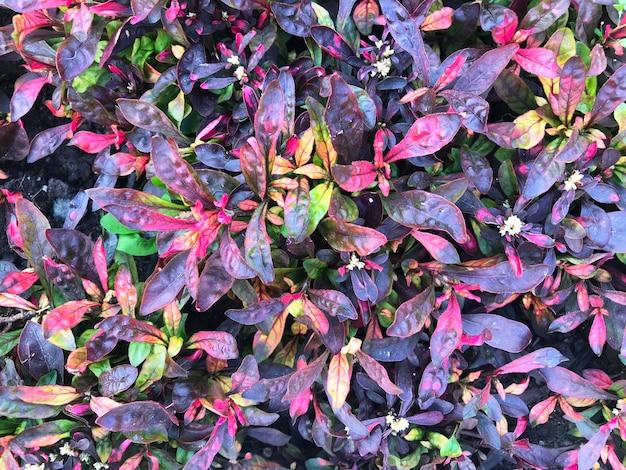 Hintergrund von alternanter mit rosa, grünen, burgunderfarbenen blättern.