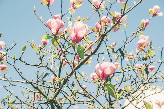 Hintergrund von blühenden magnolien. blumen. selektiver fokus