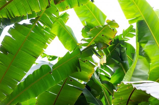 Hintergrund von grünen bananenblättern, wald.