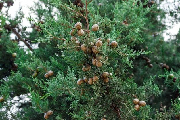 Hintergrund von grünen blättern eines großen zypressenbaums mit vielen kegeln