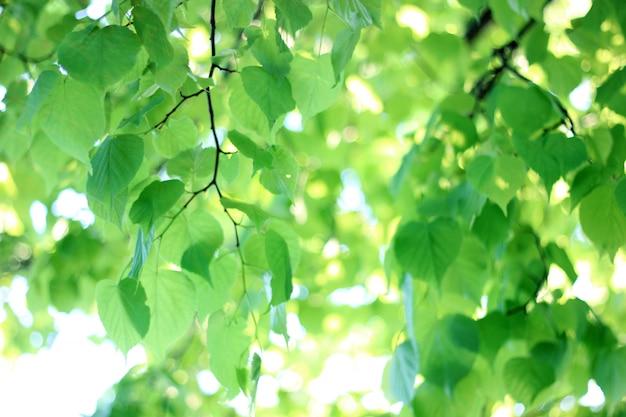 Hintergrund von neuen grünen lindeniederlassungen, selektiver fokus.