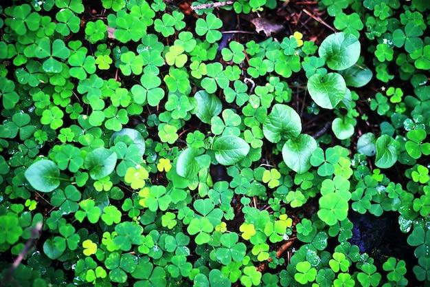 Hintergrund von pflanzenklee vierblättriges irisches traditionelles symbol stpatrick s day