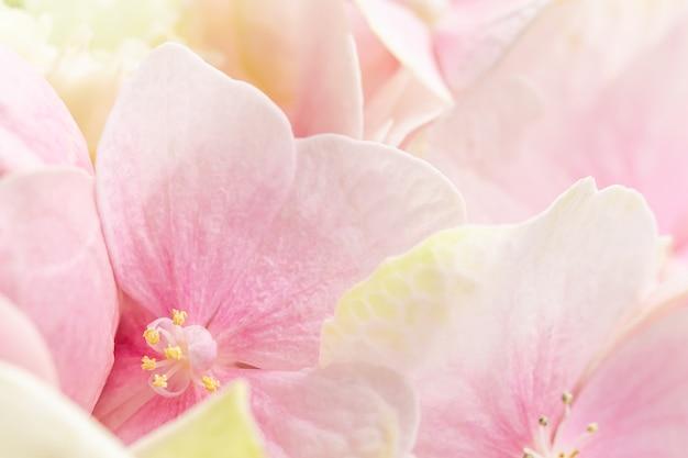 Hintergrund von rosa blumen. hortensie oder hortensie in blüte.