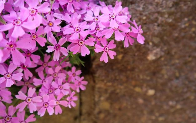 Hintergrund von rosa blumenphlox im frühjahr