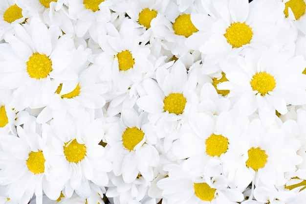 Hintergrund weiße chrysanthemen