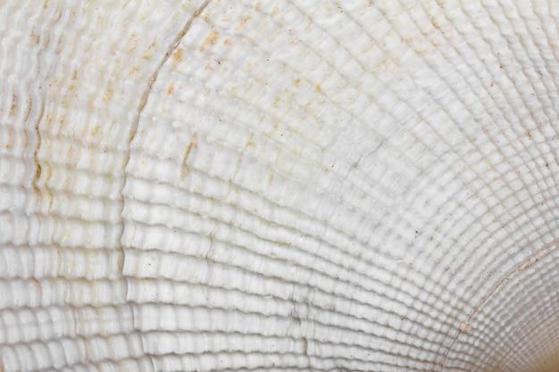 Hintergrundbeschaffenheit der weißen muschel, makrofoto