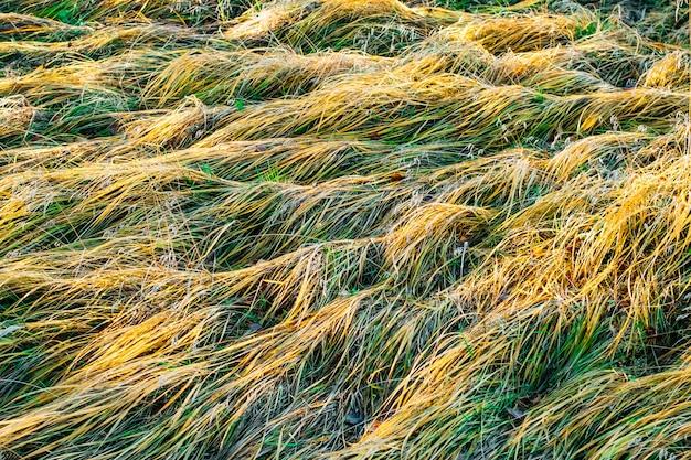Hintergrundbeschaffenheit des trockenen grases