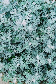 Hintergrundbeschaffenheit grüne blätter von cineraria schließen oben.