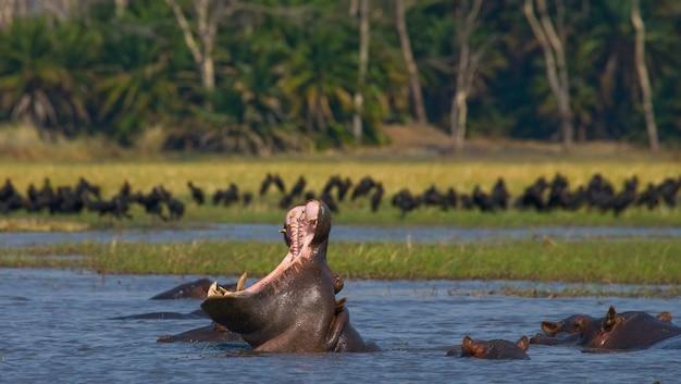 Hippo sitzt im wasser, öffnet den mund und gähnt