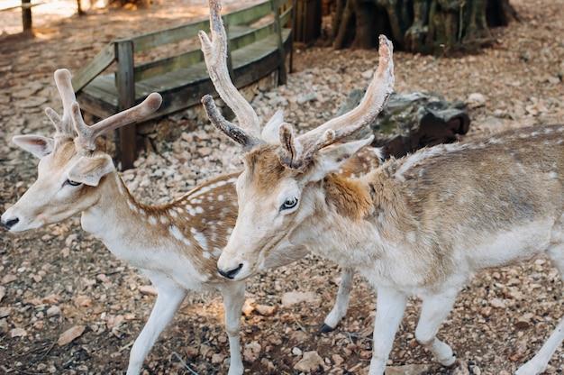 Hirsch im offenen naturreservat stone, zoo, reservat auf der insel zakynthos.greece