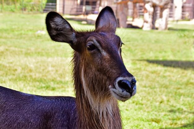 Hirsch im zoo natürlich schön
