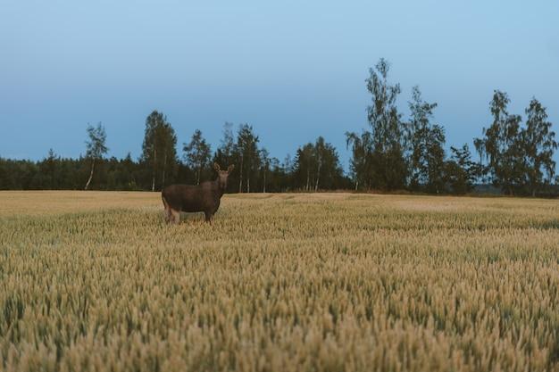 Hirsch in einem grasfeld, umgeben von grünen bäumen in norwegen