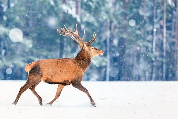 Hirsch läuft im schnee gegen winterwald.