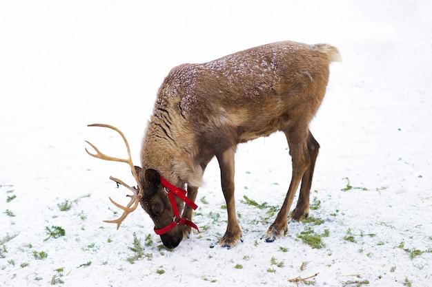 Hirsch mit geweih, hörner im schnee. tierfarm im norden