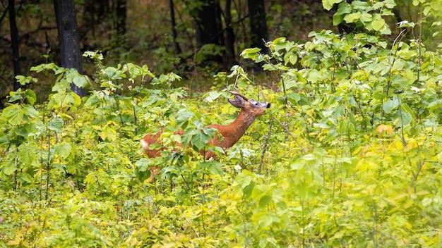 Hirsch mit kleinen hörnern und orangefarbenem fell in üppigem grün in einem wald in moldawien