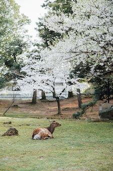 Hirsch und sakura-baum in nara japan