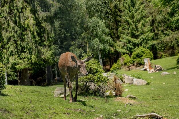 Hirsche grasen auf der wiese.