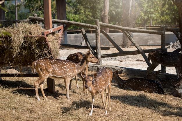 Hirsche grasen im zoo herum
