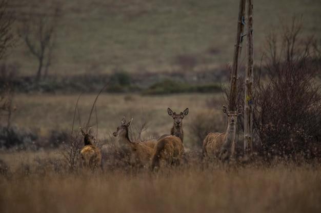 Hirsche im frühjahr in capcir, pyrenäen, frankreich
