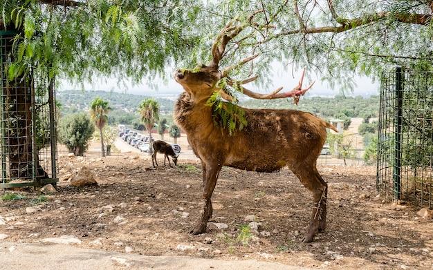 Hirsche kratzen augen geschlossen mit einem ast im wald