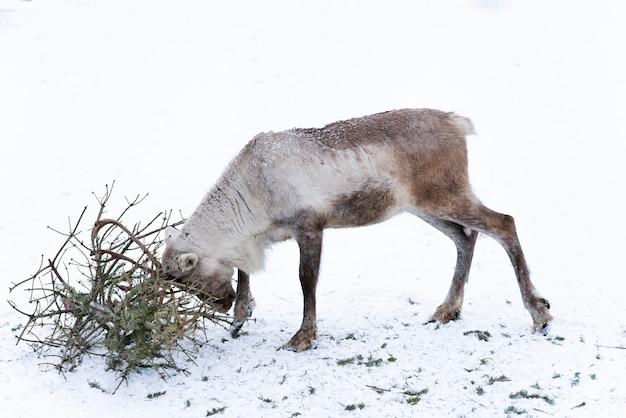 Hirschfarm. hirsch mit geweih spielt an schneebedeckten wintertagen mit tannenzweigen mit hörnern auf schnee