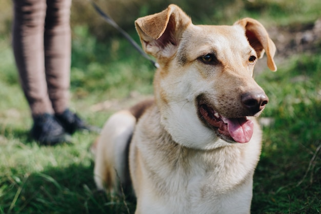 Hirtenhaustier aus dem hundeheim spaziergang im kragen an der leine in weiblichen beinen im hintergrund, glückliches haustier domestic