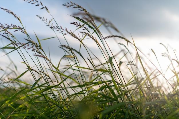 Hochgrünes gras gefüllt mit weichem sonnenuntergangslicht.