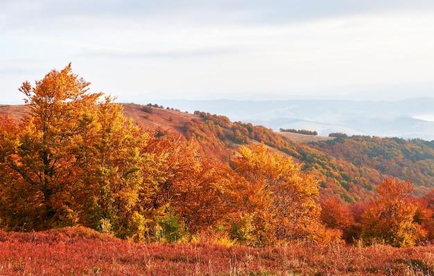 Hochlandvegetation bescheidener sommer und ungewöhnlich schöne farben blühen im herbst vor kaltem wetter. blaubeeren leuchtend rot, nadelwald grün, orange buk-berge sinie-fantastischer charme.