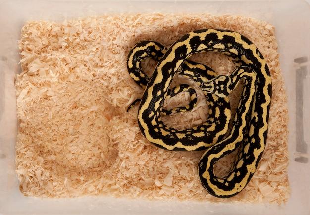 Hochwinkelansicht von morelia spilota variegata, einer unterart von python, in einem käfig