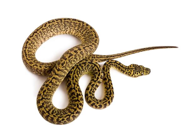 Hochwinkelansicht von morelia spilota variegata, einer unterart von python,