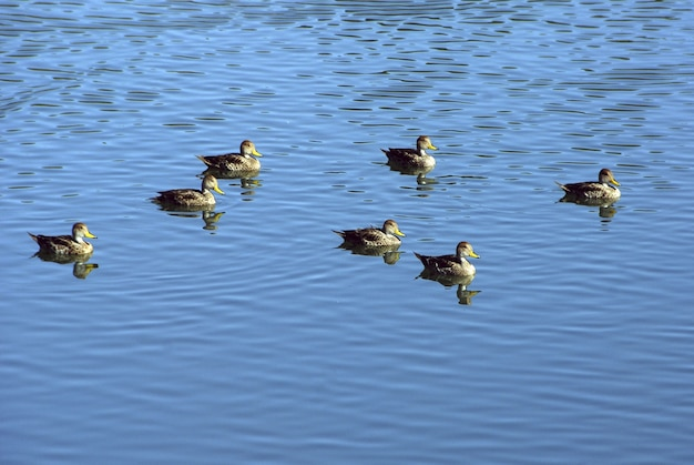 Hochwinkelaufnahme einer gruppe von enten, die im blauen see schwimmen