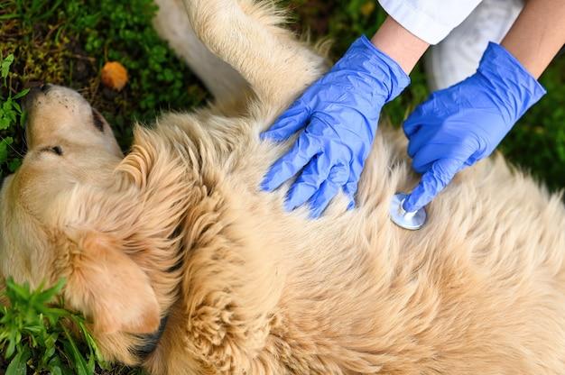 Hochwinkelaufnahme von tierärzten, die eine medizinische untersuchung an einem golden retriever durchführen