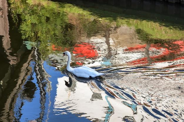 Höckerschwanschwimmen entlang des alten flusses nene