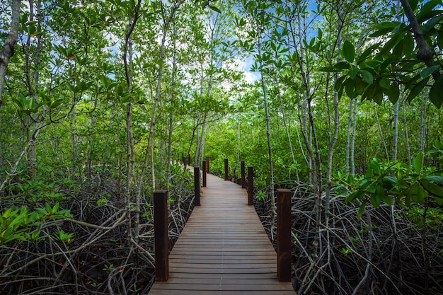 Hölzerne gehende weise der brücke in der waldmangrove in chanthaburi thailand.