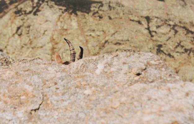 Hörner und bergziegenkopf ragen aus den felsen