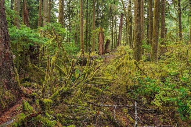 Hoh rainforest olympic nationalpark bundesstaat washington usa