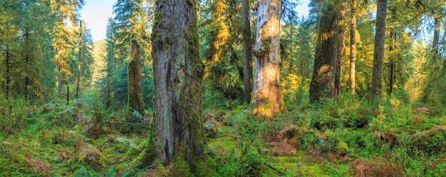 Hoh regenwald im olympic nationalpark washington usa