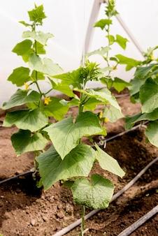 Hohe ansicht gurkenpflanze mit blume