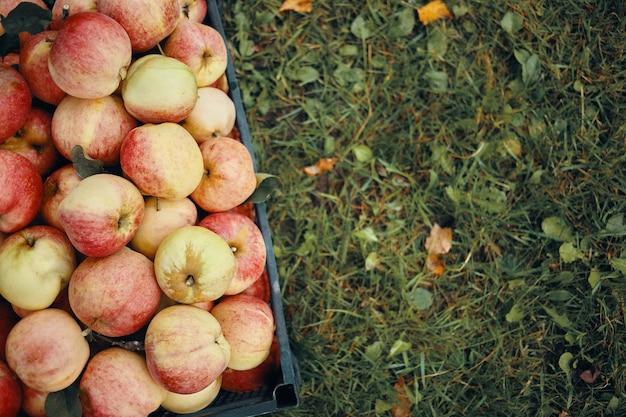Hohe außenansicht des hohen winkels von reifen äpfeln in der schwarzen plastikbox auf grünem leerem gras