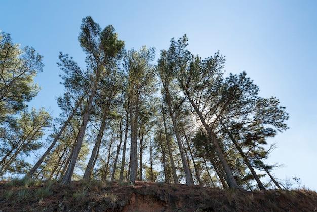 Hohe bäume in der perspektive unter einem blauen himmel