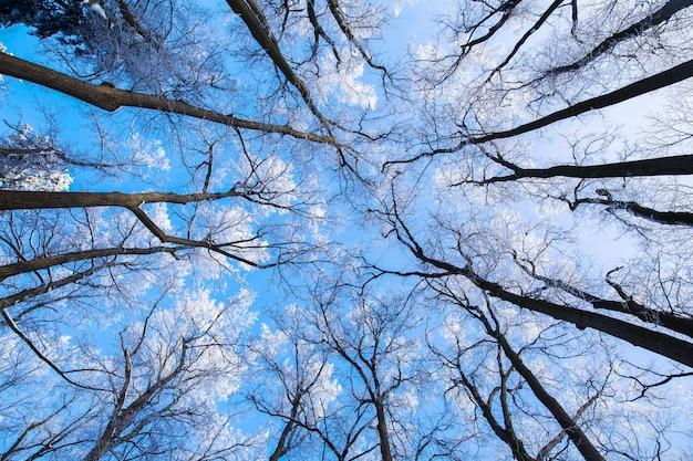 Hohe bäume mit weißen schneebedeckten niederlassungen im winterwald auf hintergrund des blauen himmels